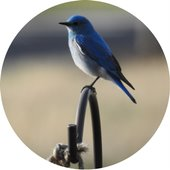 Colorado Bluebird Project open house coming soon