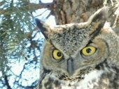 Headshot photo of a great horned owl