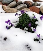 Snow and violet