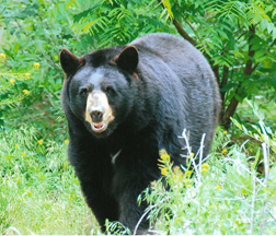 Black Bear_photo courtesy of Tony Lane
