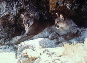 Mountain Lions Laying Down in Between Rocks