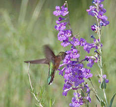 Hummingbird at penstemon by Dick Vogel