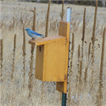 Bluebird Sitting on a Birdhouse