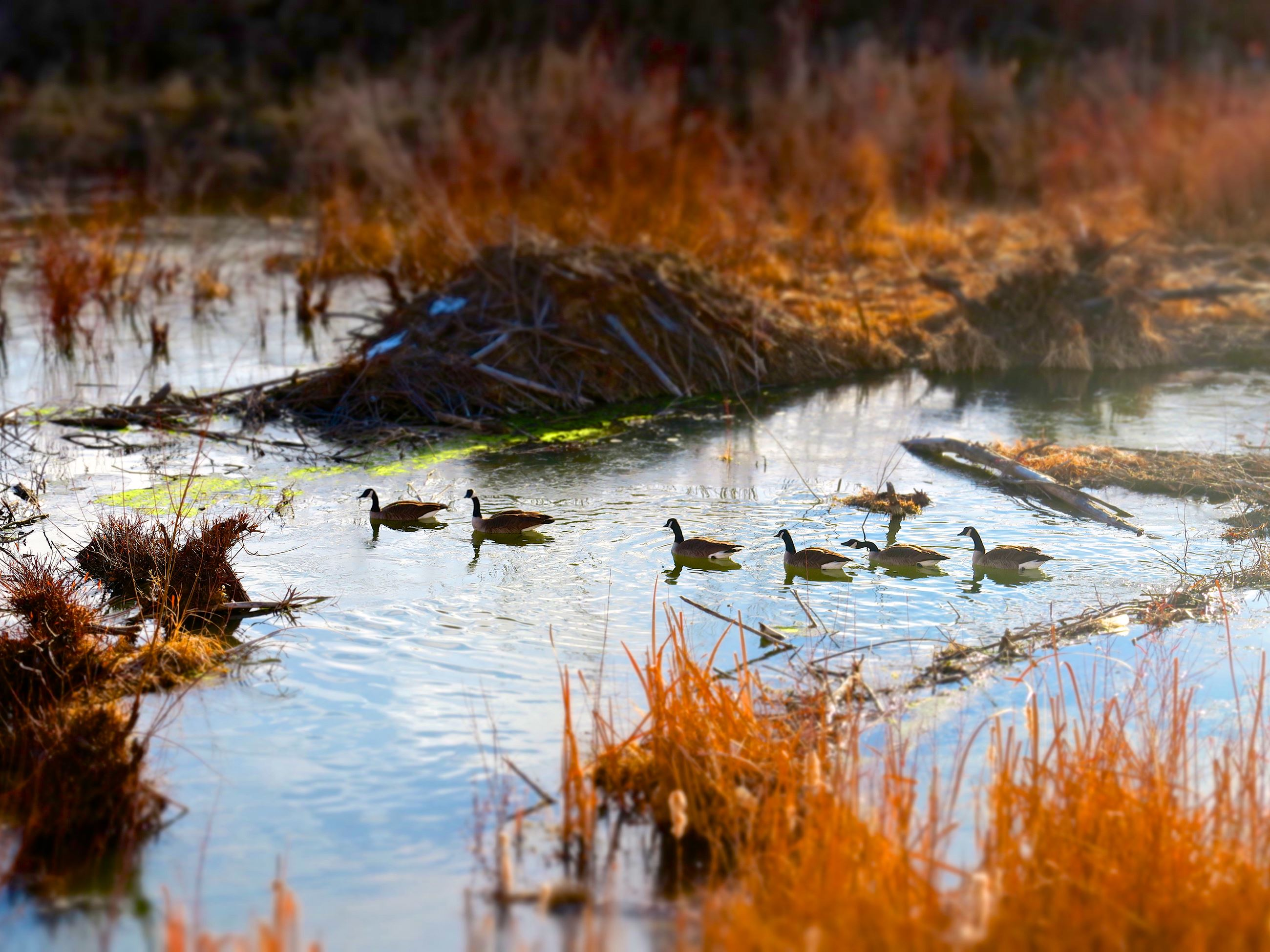 Ducks in Plum Creek